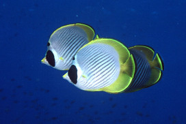 3 Butterfly Fish