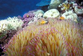 Anemonefish Reef