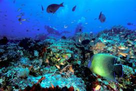 Angelfish Seascape