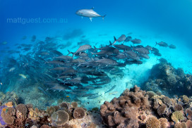 Swirling Big-Eye Trevalls over a coral reef wall