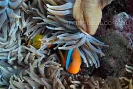 Black Anemonefish in anemone