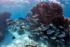 School of Bream under a coral bommie