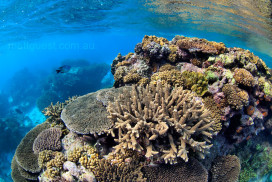 Colourful Hard Corals just beneath the surface