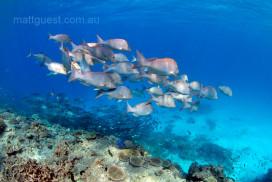 Emporer Fish School