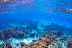 Scissortails dance over a coral reef