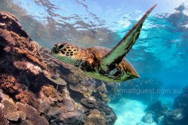 Green Turtle appears to fly past