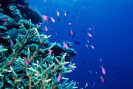 Basslets on Staghorn Coral