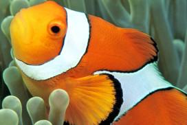 Clownfish Portrait