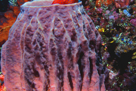 Coral Cod in Barrel Sponge Coral