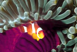 Clown Anemonefish in Anemone