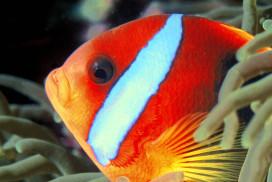Black Anemonefish close-up