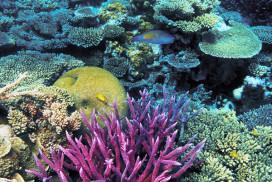 Purple Staghorn Coral Reef