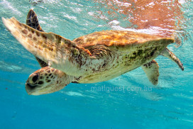 Juvenile Green Turtle takes a breath and dives